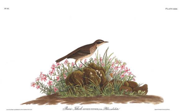 Prairie Painting - Prairie Titlark by John James Audubon