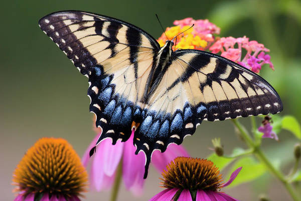 Photograph - Pretty Swallowtail Butterfly by Jill Lang