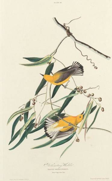 Wall Art - Drawing - Prothonotary Warbler by Dreyer Wildlife Print Collections