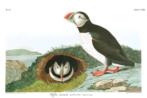Wall Art - Painting - Puffin by John James Audubon