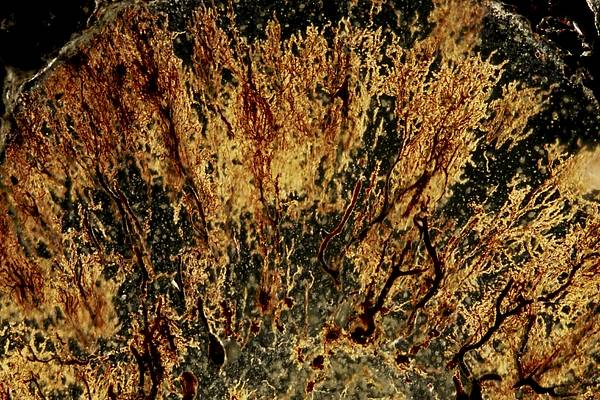 Cajal Wall Art - Photograph - Purkinje Nerve Cells Light Micrograph by Pasieka