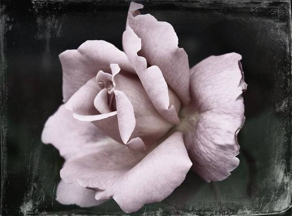 Wall Art - Photograph - Purple Rose by Cathie Tyler
