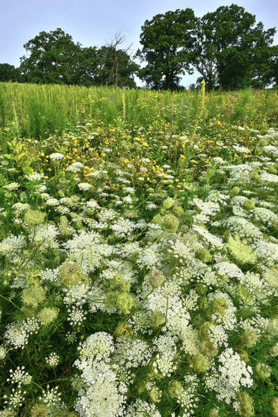 Photograph - Queen Anne's Lace In Glacial Park by Ray Mathis