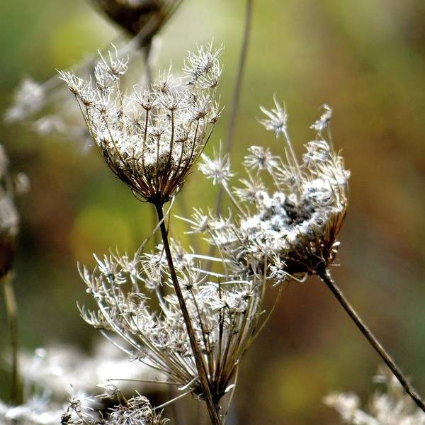 Photograph - Re Upload Queen Ann's Lace by Jenny Regan
