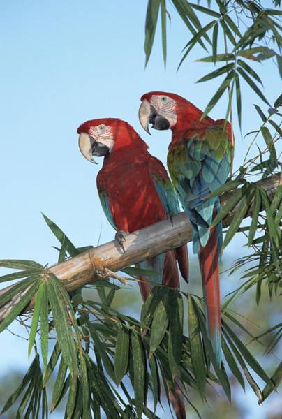 Wall Art - Photograph - Red And Green Macaw Ara Chloroptera by Konrad Wothe