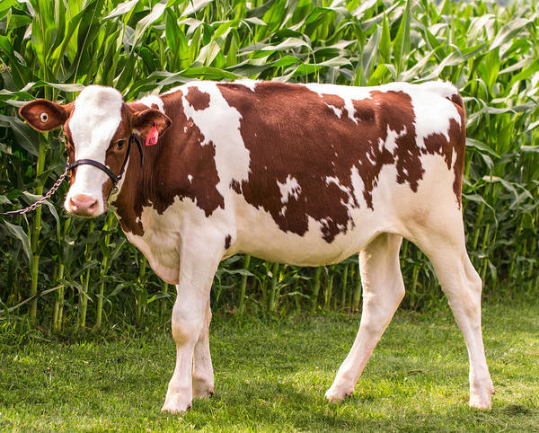 Photograph - Red And White Holstein Heifer by Judith Picciotto