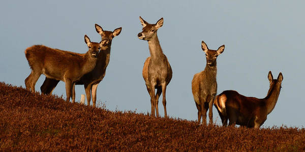 Photograph - Red Deer  by Gavin MacRae