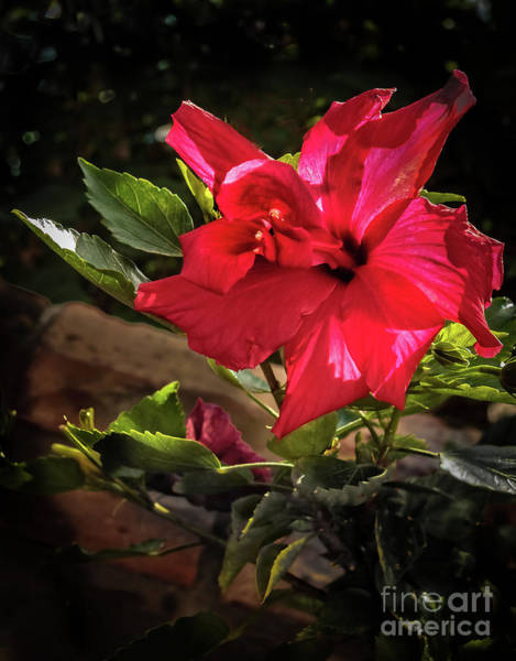 Wall Art - Photograph - Red Hibiscus by Robert Bales