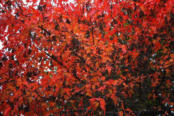 Photograph - Red Leaves by David Matthews