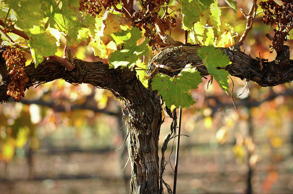 Photograph - Red Wine Vine by Brandon Bourdages