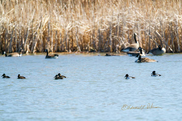 Photograph - Ring-necked Ducks by Edward Peterson