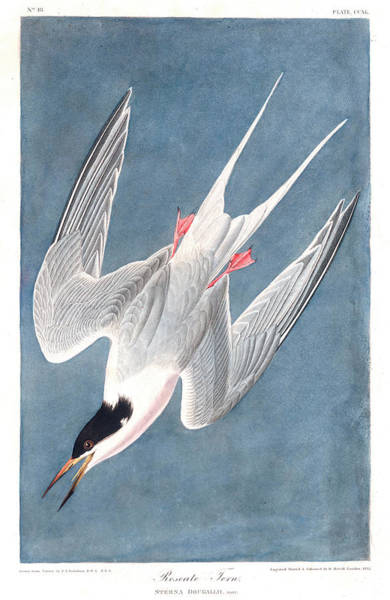Wall Art - Painting - Roseate Tern by John James Audubon