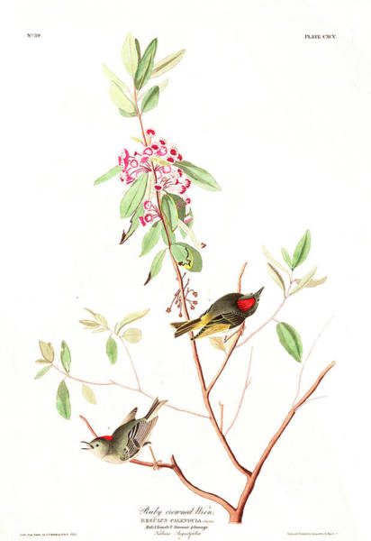 Wren Painting - Ruby Crowned Wren by John James Audubon