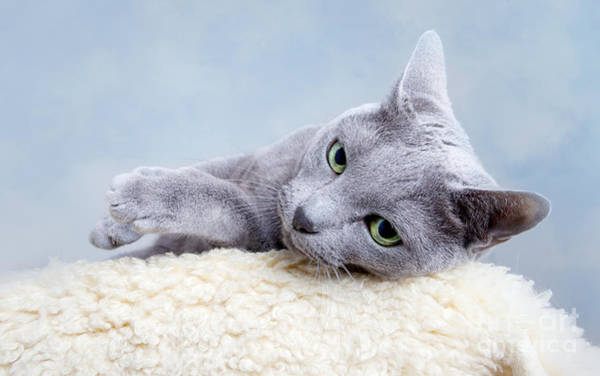 Beautiful Cats Wall Art - Photograph - Russian Blue Cat by Nailia Schwarz