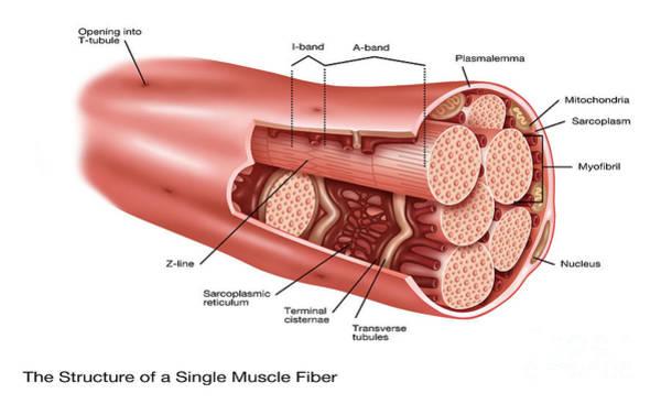 Wall Art - Photograph - Single Muscle Fiber Structure by Gwen Shockey