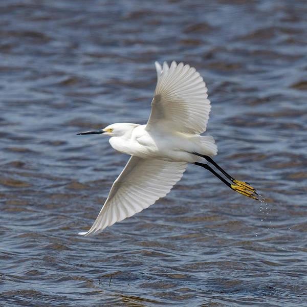 Photograph - Snowy Egret Flying by William Bitman