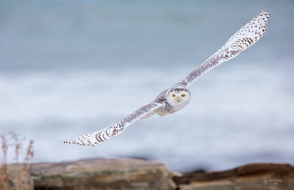 Photograph - Snowy Owl by Dale J Martin