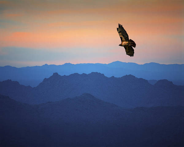 Photograph - Soaring Red Tailed Hawk At Sunset by Randall Nyhof