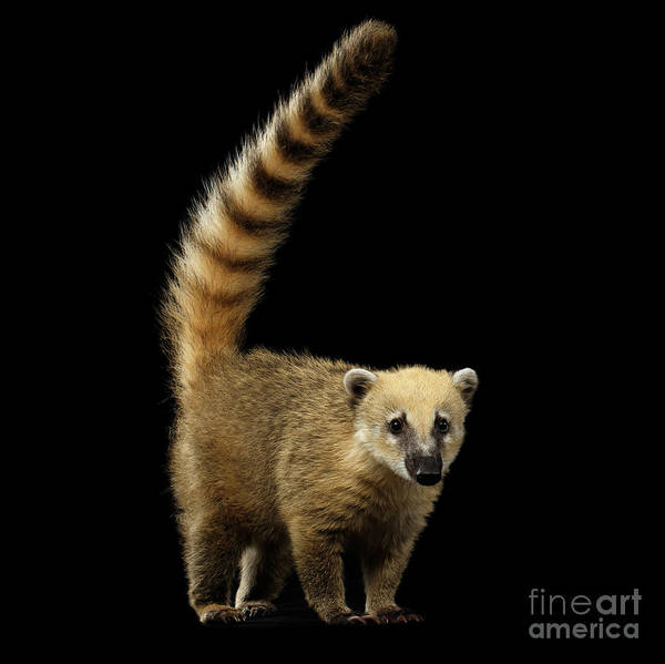 Wall Art - Photograph - South American Coati, Nasua Isolated On Black Background by Sergey Taran