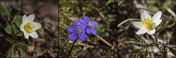 Anemone Photograph - Spring Flowers by Veikko Suikkanen