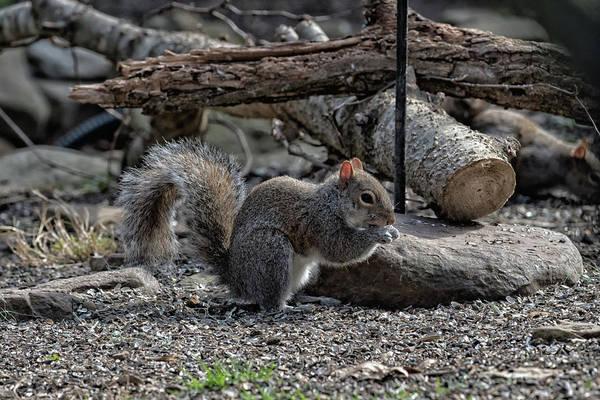 Photograph - Squirrel Portrait  by Joseph Caban