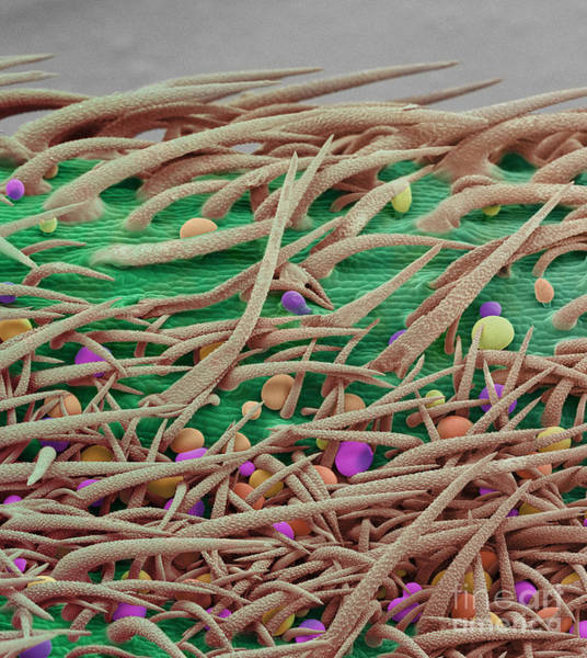 Photograph - Stem Of Marijuana Plant, Sem by Ted Kinsman