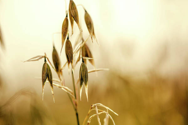 Biological Wall Art - Photograph - Summer Oat by Nailia Schwarz