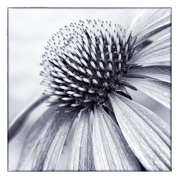 Coneflowers Photograph - Summer's Here by Robert Fawcett