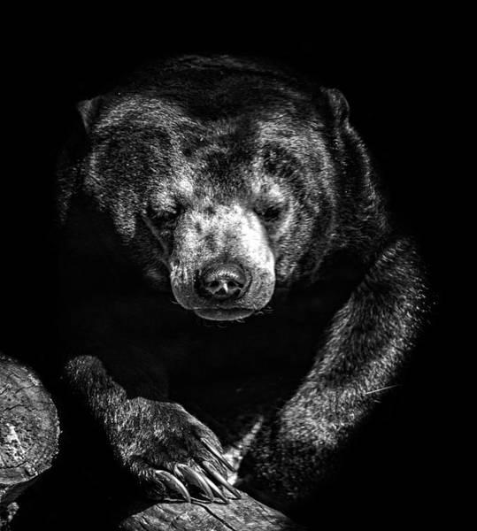Big Bear Photograph - Sun Bear by Martin Newman