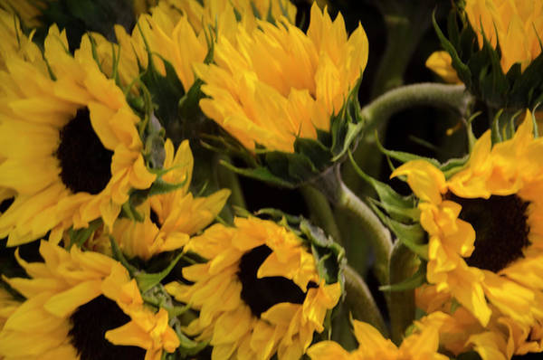 Photograph - Sunflower Power by Bill Cannon