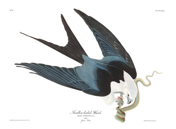 Wall Art - Painting - Swallow Tailed Hawk by John James Audubon