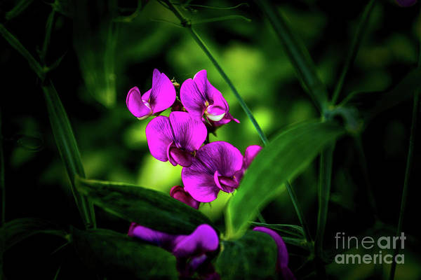 Photograph - Sweet Pea by William Norton