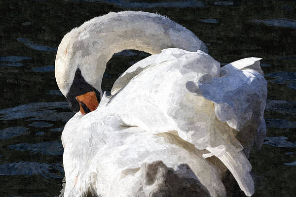 Wall Art - Photograph - The Preening Swan Art by David Pyatt
