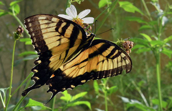 Photograph - Tiger Swallowtail by Larah McElroy