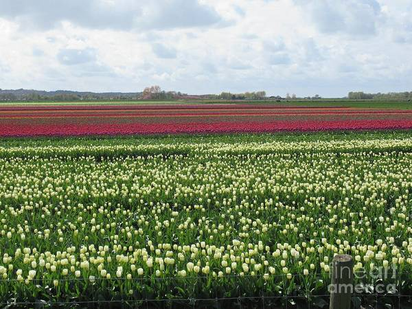 Photograph - Tulips In Warmenhuizen by Chani Demuijlder