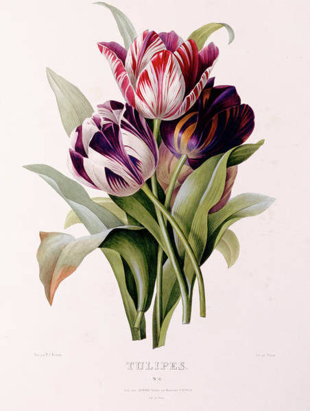 Wall Art - Painting - Tulips by Pierre-Joseph Redoute