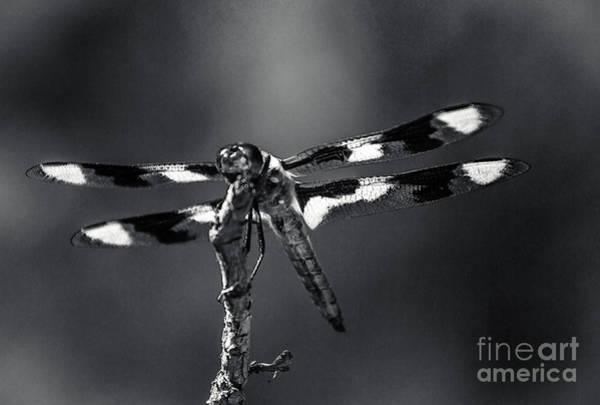 Wall Art - Photograph - Twelve-spotted Skimmer  by Robert Bales