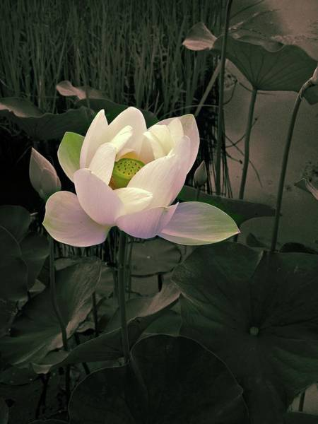Pink Lotus Flower Photograph - Twilight Lotus by Jessica Jenney