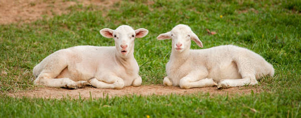 Photograph - Two Lambs by Joye Ardyn Durham