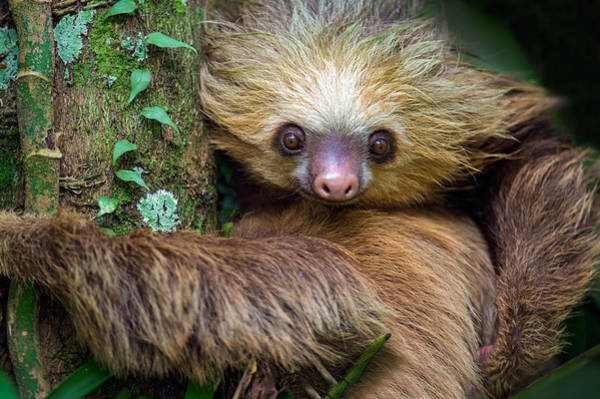 Tree Face Photograph - Two-toed Sloth Choloepus Didactylus by Panoramic Images