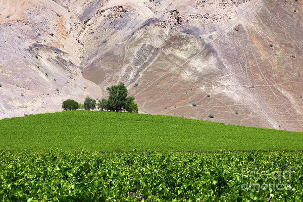 Photograph - Vines Contrasting With Chiles Atacama Desert by James Brunker