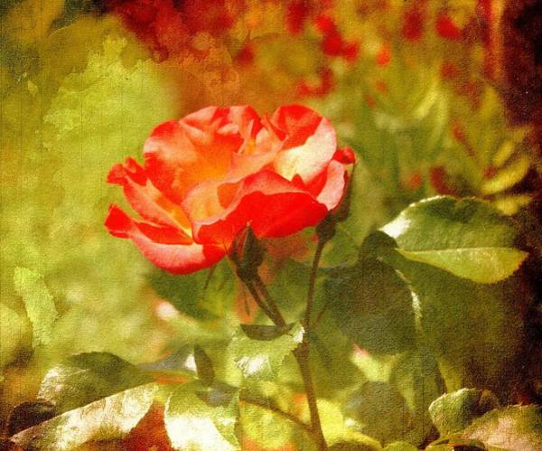 Pdx Photograph - Vintage Rose by Cathie Tyler