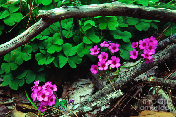 Photograph - Violet Wood Sorrel by Thomas R Fletcher