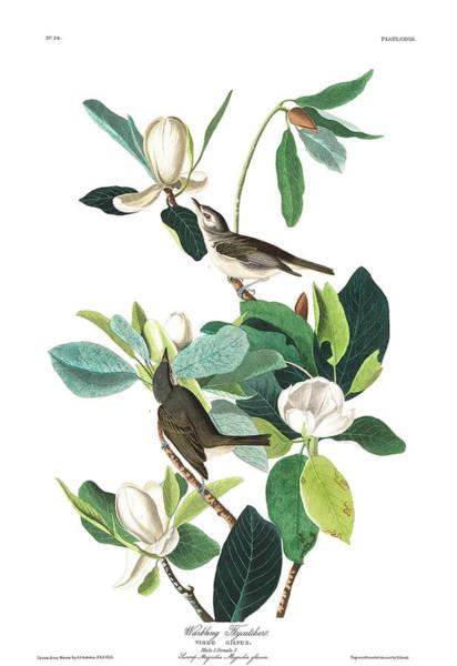 Flycatcher Painting - Warbling Flycatcher by John James Audubon