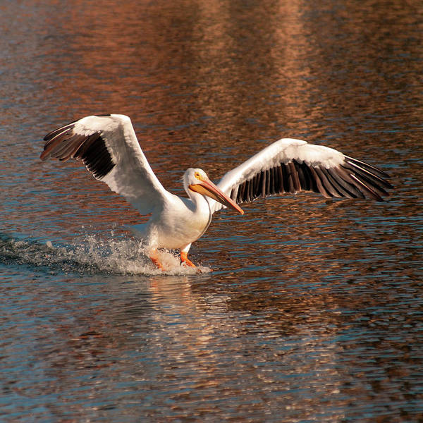 Photograph - Water Landing by Howard Bagley