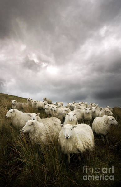 Rural Scene Photograph - Welsh Lamb by Angel Ciesniarska