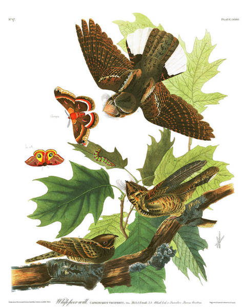 Whip Painting - Whip-poor-will by John James Audubon