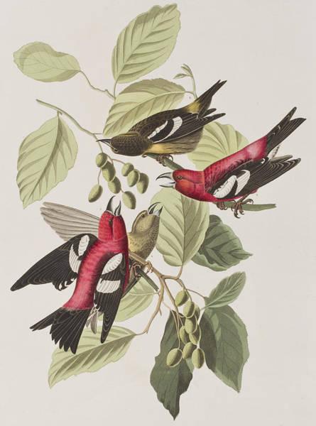John James Audubon Painting - White-winged Crossbill by John James Audubon