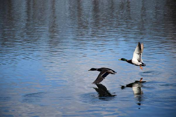 Photograph - The Graceful Mallards by Jenny Regan