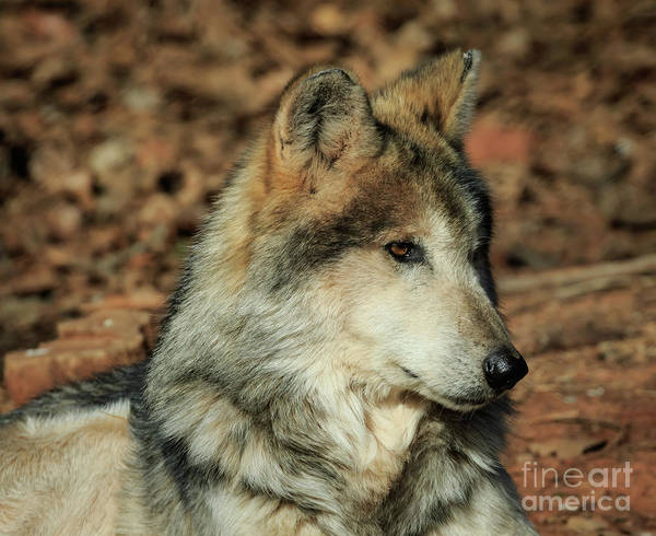 Photograph - Wolf by Richard Smith